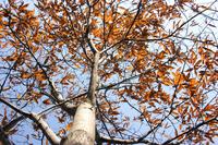 Tree of autumn chestnuts Stock photo [1578914] Chestnut