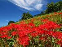 Amaryllis field in full bloom Stock photo [1583817] Lycoris