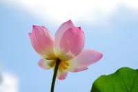 Lotus Flower Stock photo [1584089] Lotus