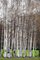 White birch forest Stock photo [1584300] White