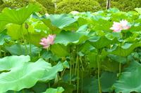 Tenryu-ji Lotus Pond Stock photo [1675238] Lotus