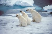 Arctic Polar Bear Stock photo [1678359] Landscape