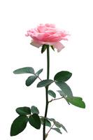 Pink rose Stock photo [1679504] Rose