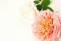 Rose Stock photo [1680637] Rose