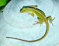 Lizard Stock photo [1681364] Lizard
