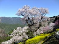 Gourd Sakura Stock photo [1685488] Kochi