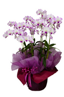 Phalaenopsis Stock photo [1754216] Phalaenopsis