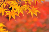 Yellow maple stock photo