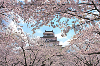 Tsuruga-jo Castle to be wrapped in cherry Stock photo [1759541] Tsuruga