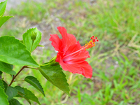 Midsummer of hibiscus Stock photo [1759660] Hibiscus