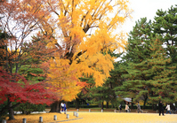 Kyotogyoen ginkgo tree Stock photo [1759677] Ginkgo
