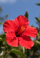 Amami Oshima of hibiscus Stock photo [1759674] Hibiscus