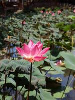 Lotus Flower Stock photo [1848641] Flower