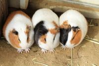 3 guinea pigs Stock photo [1850717] Guinea