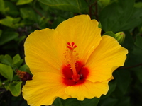 Hawaiian Hibiscus Stock photo [1853434] Hawaii