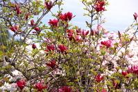 Magnolia tree wearing a lot of flower Stock photo [1853911] Flower