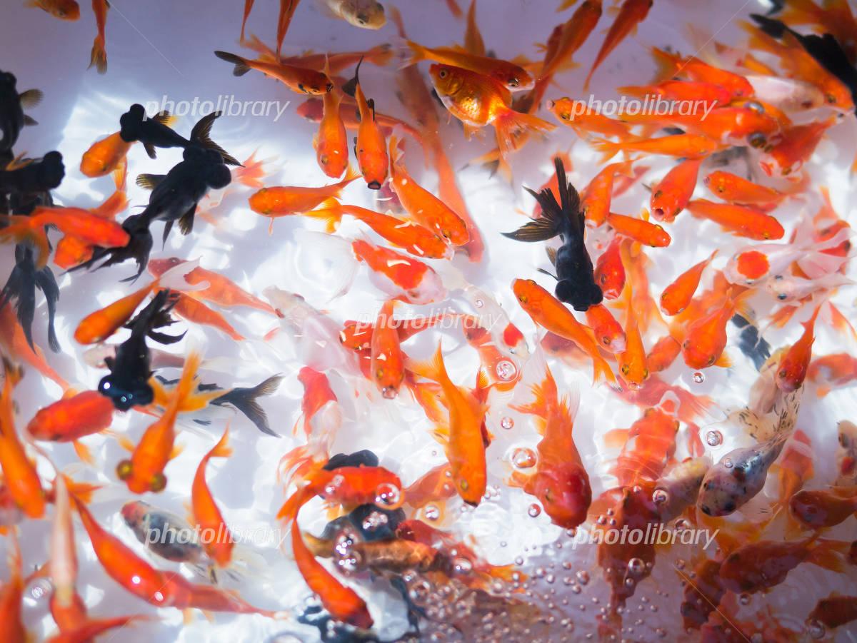 Goldfish scooping Photo