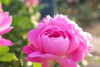 Rose Mary Rose Stock photo [1962551] Rose
