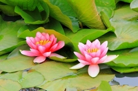 Water lily flower Stock photo [1962583] Lotus