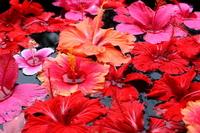 Hibiscus Stock photo [1966214] Hibiscus