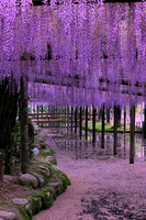 Helwingia Tenno River Park wisteria trellis Stock photo [1970251] Rattan
