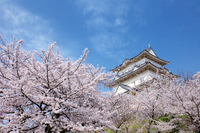 Sakura of Odawara Castle Park Stock photo [1971857] Cherry