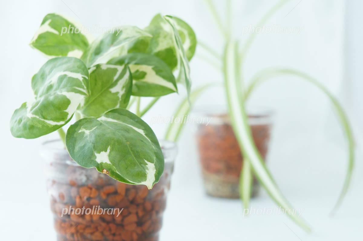 Pothos and Chlorophytum comosum Photo