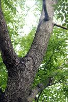 Amur cork Stock photo [2067946] Rutaceae