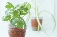 Pothos and Chlorophytum comosum Stock photo [2075275] Pothos