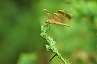 Miyamaakane female Stock photo [2078599] Dragonfly