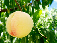 Shimizu white peach Stock photo [2078804] Peach