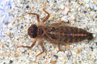 Dragonfly larvae of Anotogaster sieboldii Stock photo [2171642] Anotogaster