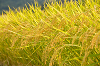 Ripe rice Stock photo [2174574] Rice