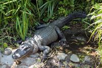American alligator Stock photo [2177024] American