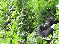 Mountain gorilla Stock photo [2179336] Africa