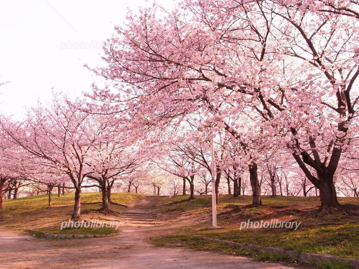 大阪の桜の名所 毛馬桜之宮公園 写真素材 [ 2308982 ] - フォトライブ ...