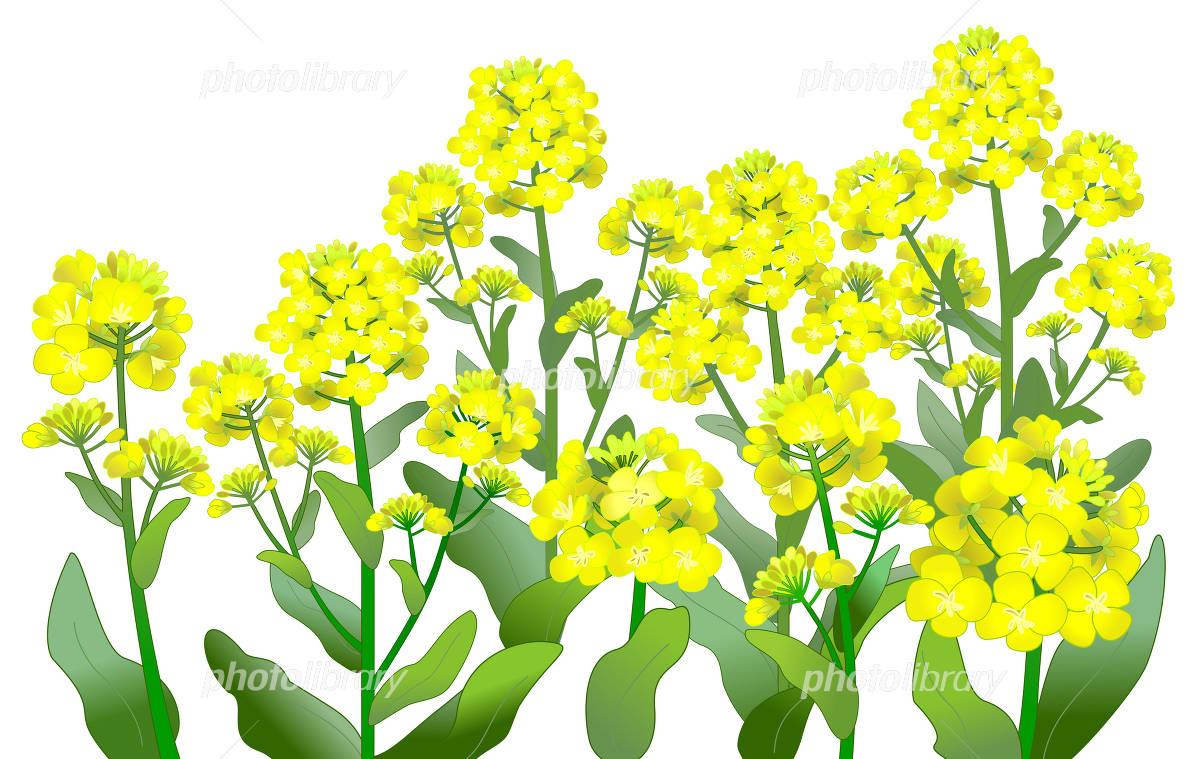 菜の花畑 イラスト素材 2312388 フォトライブラリー