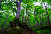 Beech virgin forest of Takeshi絏?, Shirakami, Akita Prefecture stock photo