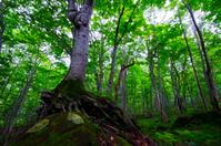 Beech virgin forest of Takeshi絏?, Shirakami, Akita Prefecture Stock photo [2299954] Shirakami