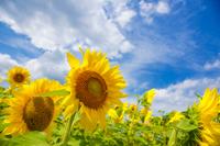 Sunflower Stock photo [2301592] Sunflower