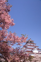 Sakura Fukushima Prefecture Aizu-Wakamatsu City of Tsuruga-jo Castle Stock photo [2301609] Cherry