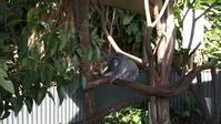 前屈するコアラ