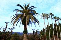Nagasakihana palm and Phoenix Stock photo [2304366] Palm