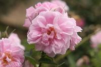 Damask rose Stock photo [2305163] Rosaceae
