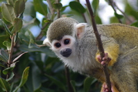 Squirrel monkey Stock photo [2305609] Squirrel