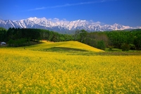 Rape field and Northern Alps Stock photo [2306009] Rape