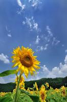 Kimita village of sunflower Stock photo [2307671] Sunflower