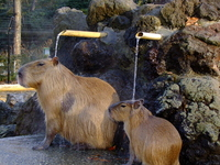 Kapipara of the struck to hot water Stock photo [2309324] Capybara
