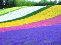Flower garden of Furano Stock photo [2310487] Lavender