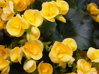 Begonia Stock photo [2426094] Begonia